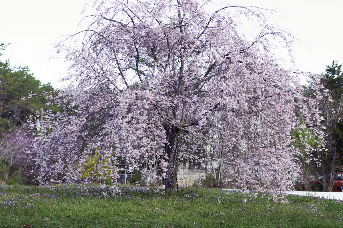 Weeping Cherry Tree Pictures 28 Images Snow