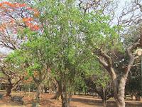 https://lh5.googleusercontent.com/-j-tLLMNWEe0/T4VLYLt3SoI/AAAAAAAAAWo/f1E_8q6OFS8/s1600/White+Orchid+Tree+-+Canopy.jpg