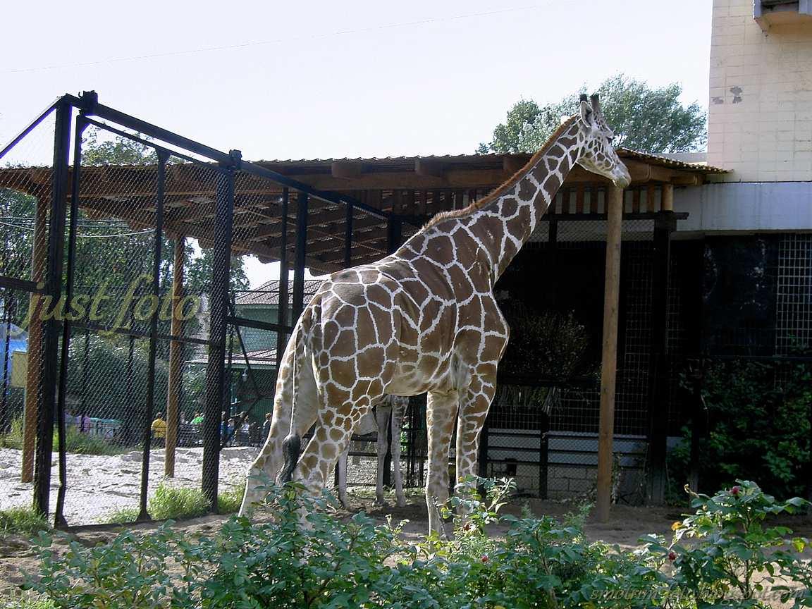 Длинноногий жираф вышагивает по зоопарку Санкт-Петербурга фото