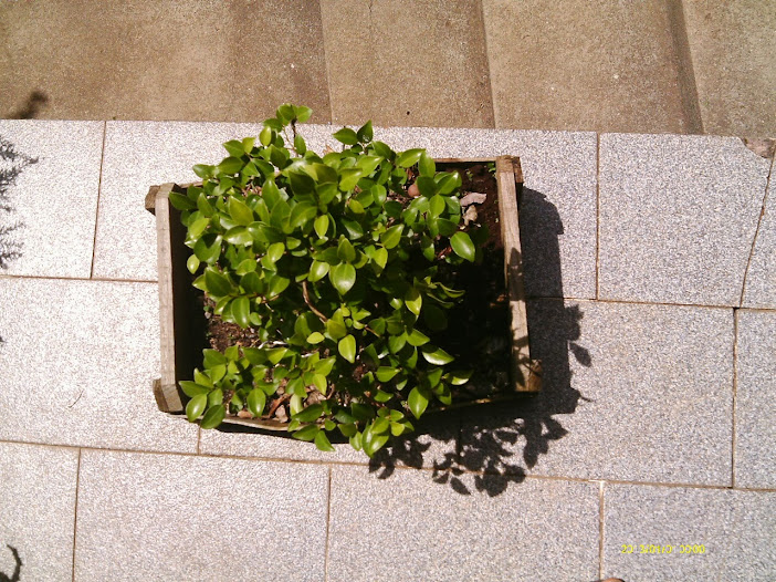 Ficus Microcarpa var. Indica... - Página 2 IMAG0033