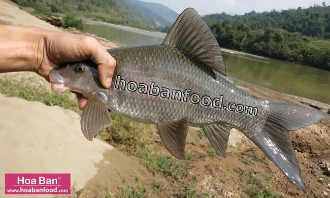 Cá Dầm Xanh Sông Đà