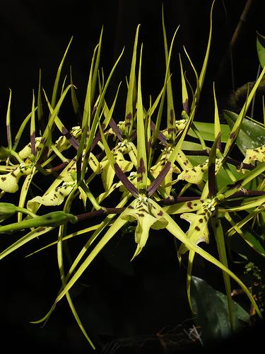 Растения из Тюмени. Краткий обзор Brassia_gireoudiana