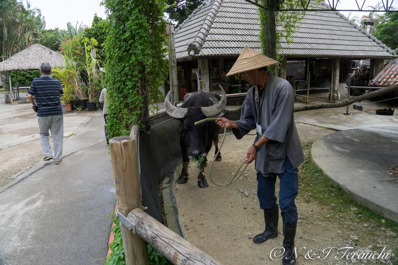 サトウキビを絞る水牛