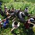 Pembunuhan Gorila di Kongo