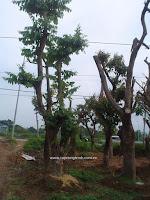 Cây Bằng Lăng, cây công trình