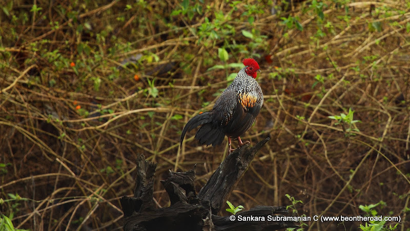 Grey Junglefowl - one early morning at Nagarhole National Park - 2