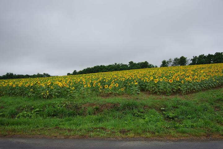 写真:西側のエリア・8分咲き