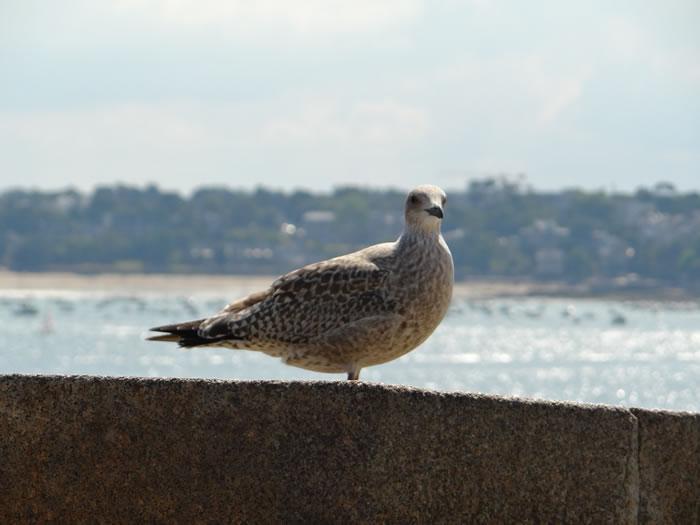 DSC01548.jpg - Les oiseaux � Saint-Malo par Bretagne-web.fr