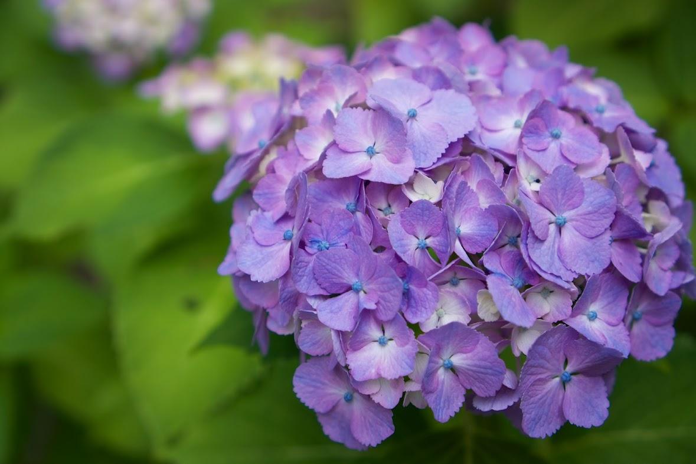 紫陽花(札幌の森美術館)