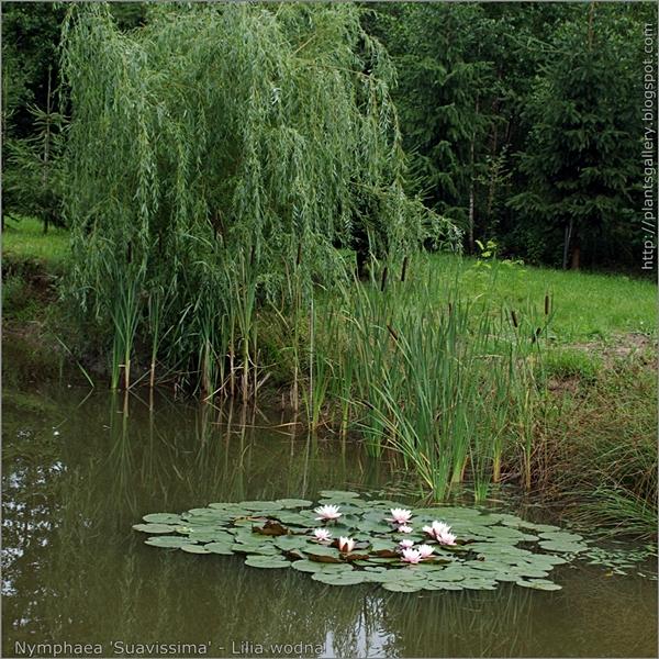 Nymphaea 'Suavissima' - Lilia wodna przykład zastosowania