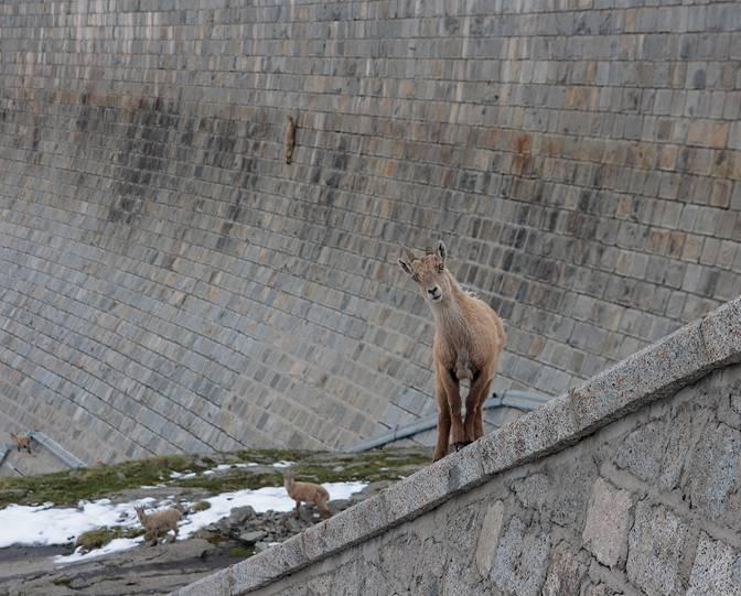 La cabra protagonista