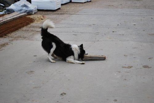 De hond Jack is een toffe attractie. Als hij de koeien niet moet opjagen om gemolken te worden, dan wil hij wel spelen met de gasten.