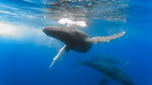 Humpback Mother and Calf, Hawaii.jpg