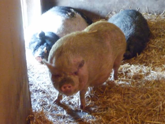 Hängebauchschwein kommt nicht aus dem Stall, weil Kollegen vor der Tür schlafen.