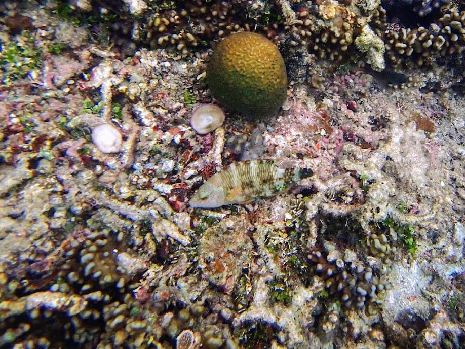 Cheilinus trilobatus (Tripletail Wrasse), Miniloc Island Resort reef, Palawan, Philippines.