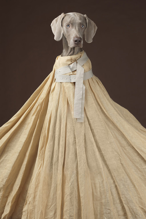 *Hat Dogs:美國攝影師William Wegman展現拿手獵狗展秀拍攝絕活! 6