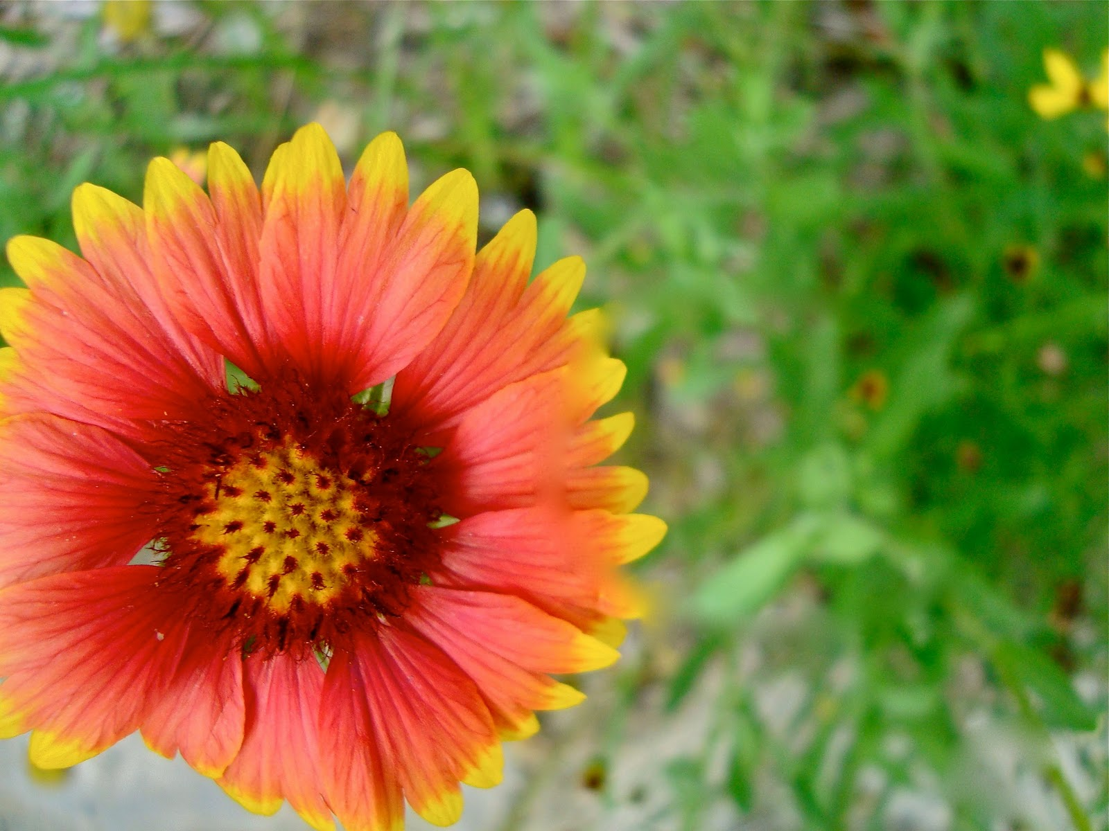 Seeds For Green Roofs Gaillardia Aristata Blanket Flower