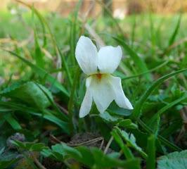 Fiołek pachnący biały kwiat Viola odorata white flwer