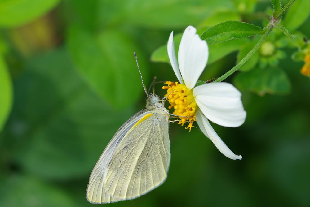 拍了一整個小時只有這些 ..白紋蝶