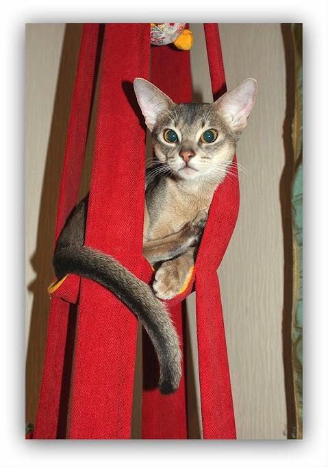 Abyssinian cat Shafran Chetana Vivasvat