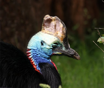 Cassowary at the Bristol Zoo in the UK