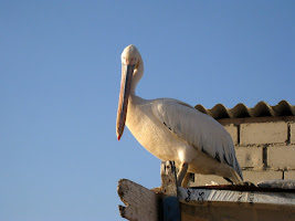 Pelican on the beach in Dakar Senegal