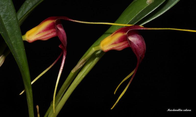 Reichantha calura ( ex. Masdevallia calura ) IMG_6718b%2520%2528Medium%2529