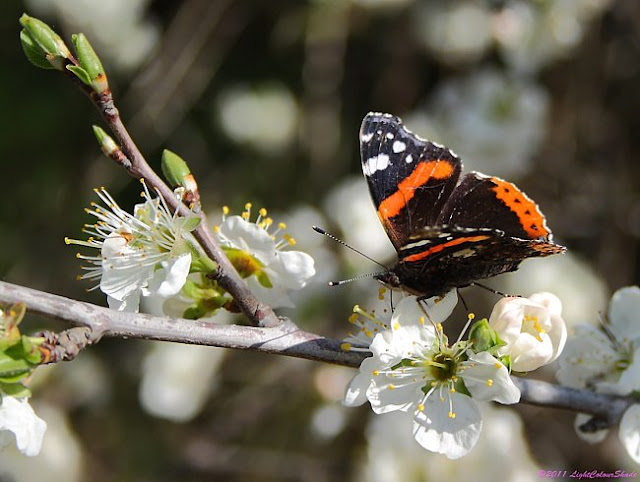 Butterfly on apple tree flowers