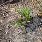 Burnt grasstrees (162910)