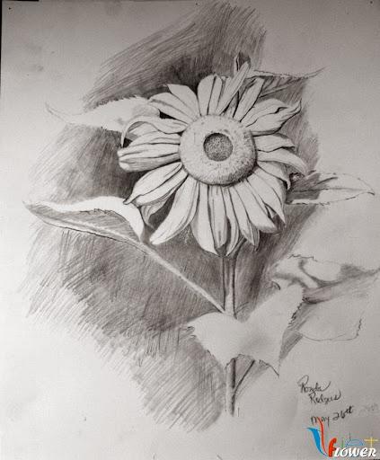 hoa hướng dương bằng bút chì