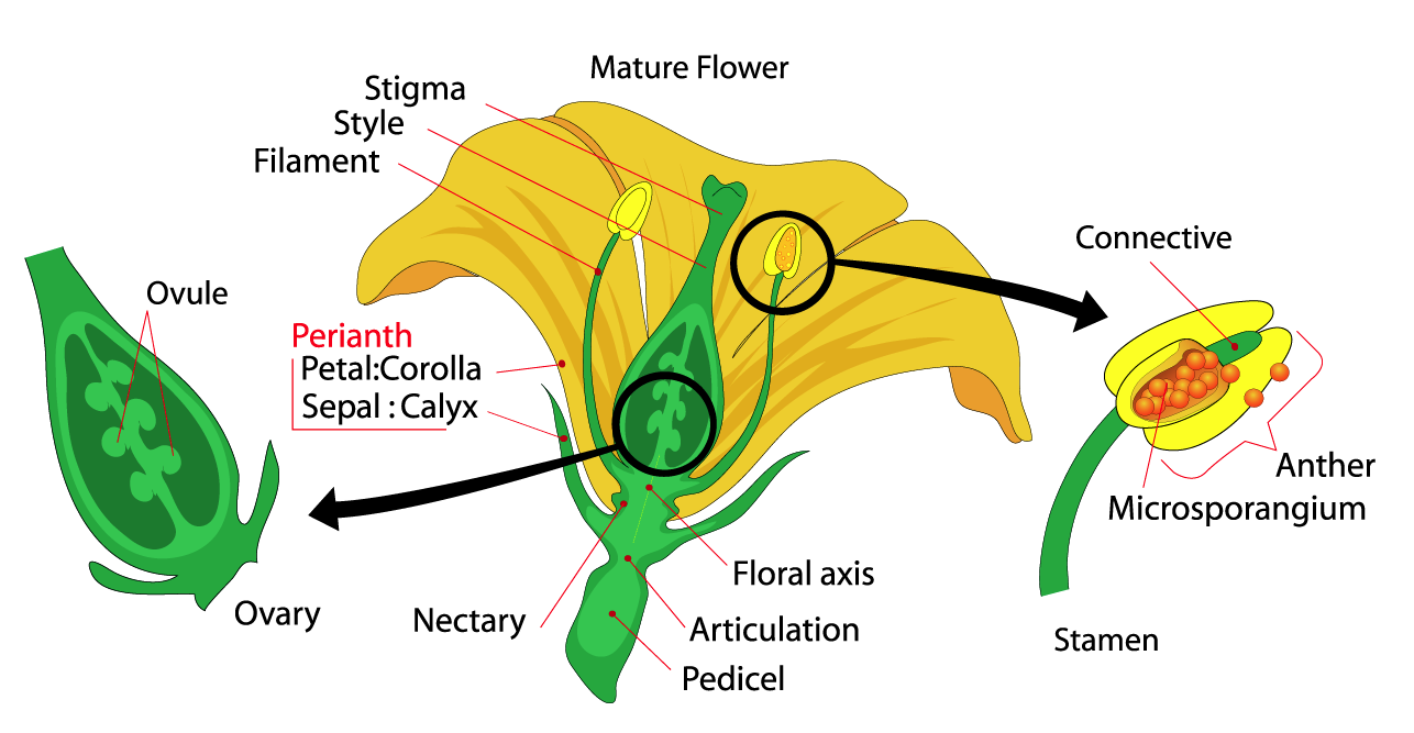 Flower Anatomy - Norman Herr, Ph.D.
