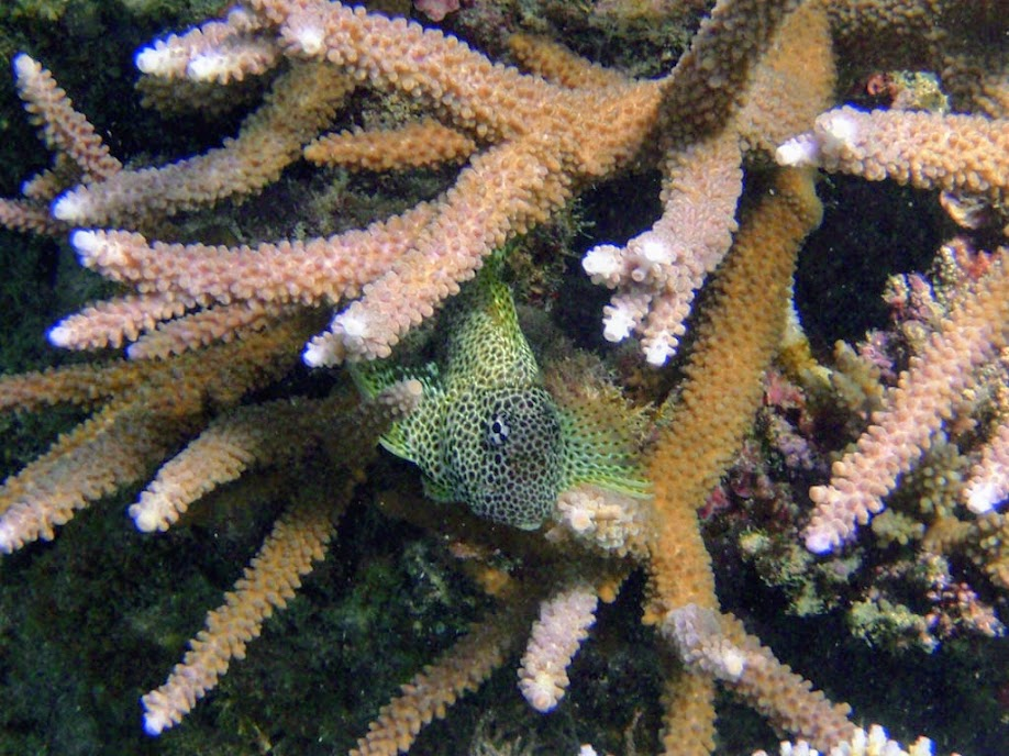 Exallias brevis (Leopard Blenny), Naigani Island, Fiji.