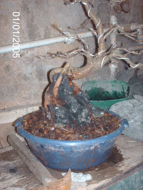 Ficus Nerifolia, Uma raiz de 3 anos... PICT1047