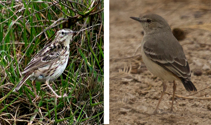 Yellowish Pipit and Short-tailed Fiedl Tyrant