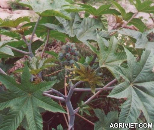 Agriviet.Com-thaudau.jpg