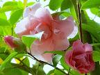 桃色 八重咲き 中〜大輪