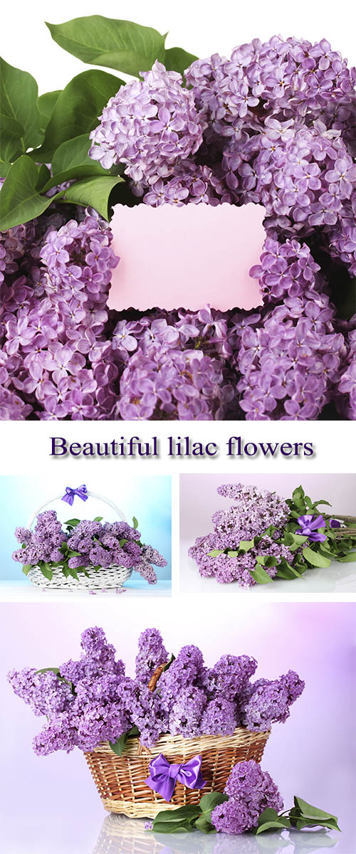 Stock Photo:  Beautiful lilac flowers