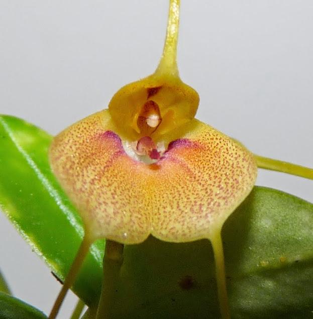 Masdevallia pteroglossa P1430059