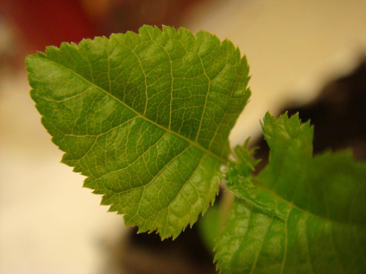 Prunus Serrulata Kanzan - Página 4 DSC02121
