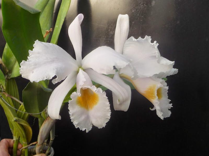 Cattleya schroederae P1220343