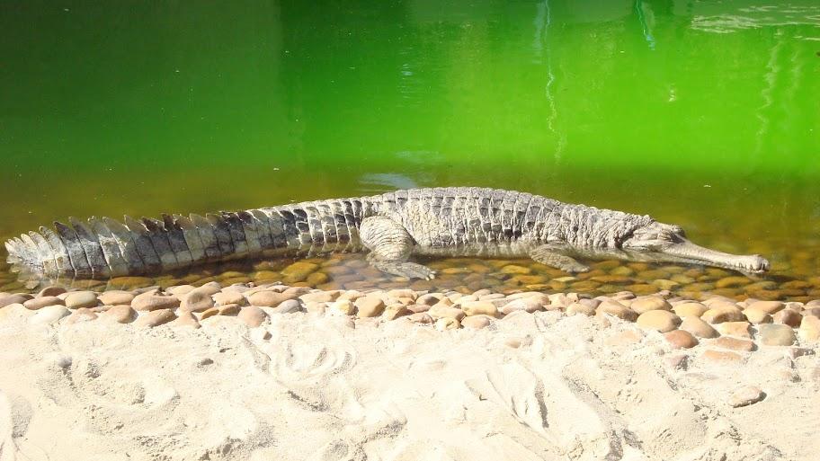 Questões e Fatos sobre Crocodilianos gigantes: Transferência de debate da comunidade Conflitos Selvagens.  - Página 2 DSC03269