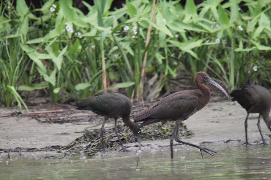 11.08.2013 – Un episod inedit : Primele stiuci din 2013 : Colonia de ibisi de pe Canalul Crisan