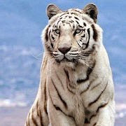 к чему снится белый тигр?