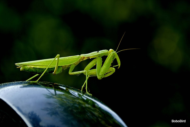 Praying Mantis (pic intensive)