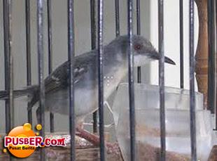Cara Perawatan Burung Ciblek