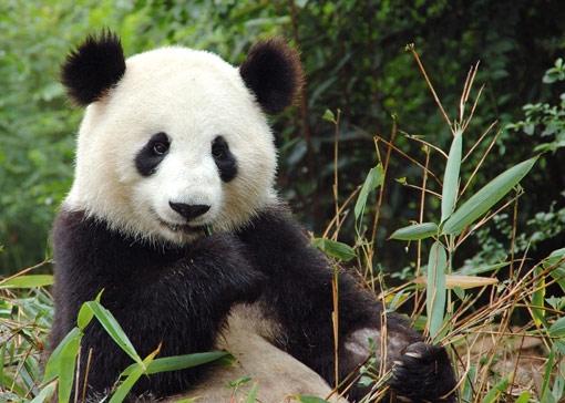 Panda Besar