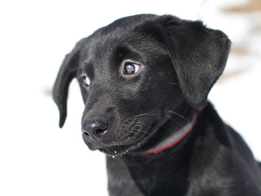 black lab golden retriever mix puppies. Sally - Black Labrador