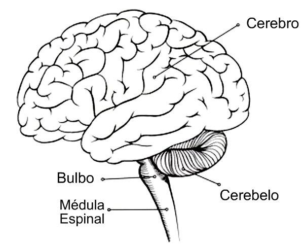 Del Sistema Nervioso Para Colorear Sistema Nervioso Para Colorear