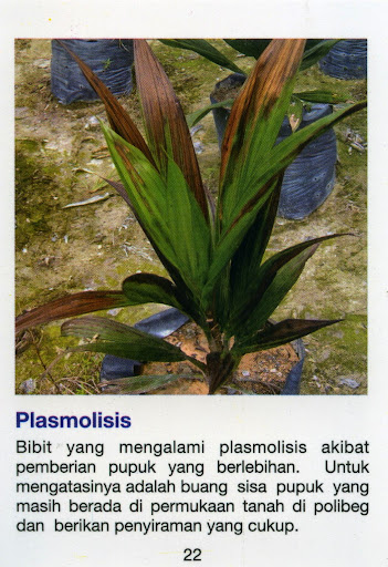 Plasmosis, adalah penyakit bibit sawit akibat pemberian pupuk yang berlebihan