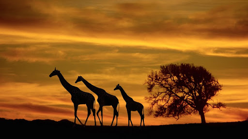 Giraffes at Sunset.jpg